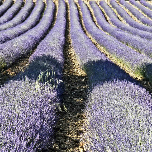 """Lavender fields in Provence, France"" stock image"