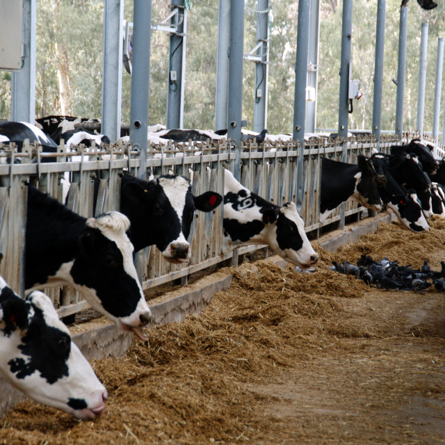 """cows at a dairy farm"" stock image"