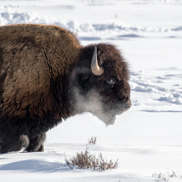 """Bison walking through deep snow on a cold morning"" stock image"