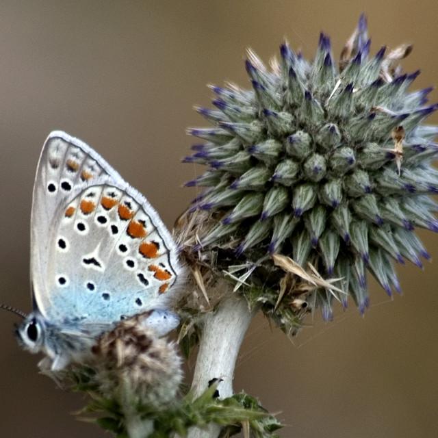 """""""butterfly on a Echinops adenocaulon"""" stock image"""