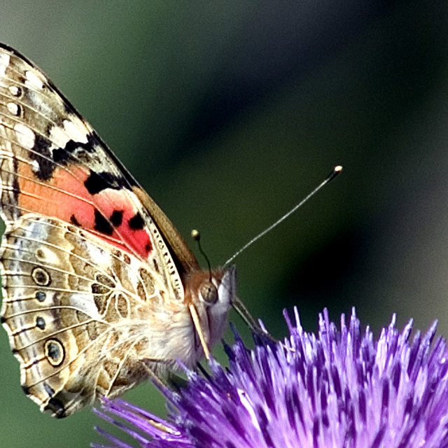 """butterfly on a Silybum marianum"" stock image"