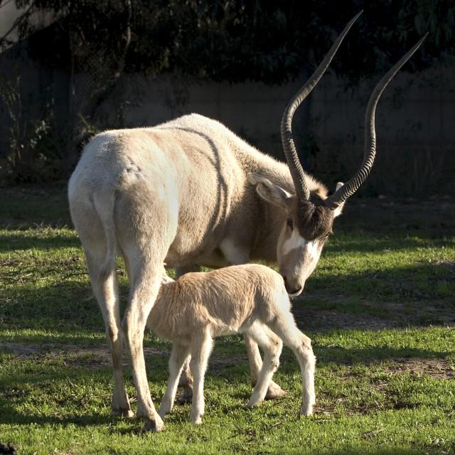 """Female Arabian White Oryx and calf"" stock image"