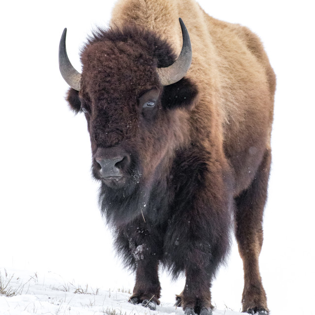 """Bison on a snow covered ridge"" stock image"