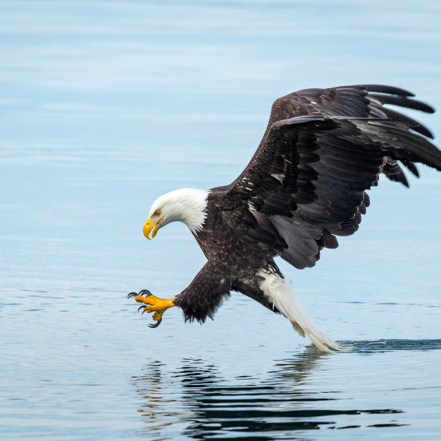 """Bald Eagle swoops down for fish"" stock image"