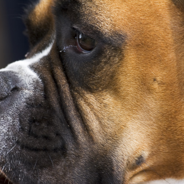 """Close up of a Boxer looking away"" stock image"