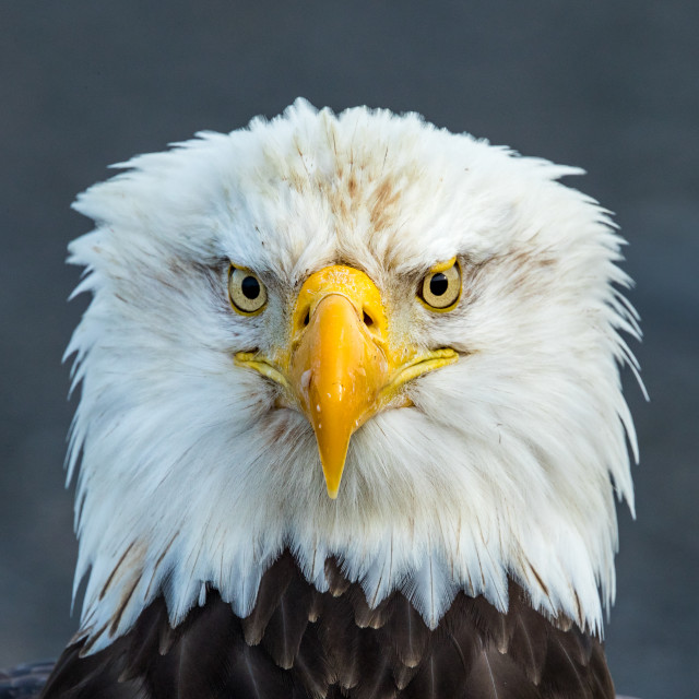 """Portrait Of A Bald Eagle, Homer, Alaska"" stock image"