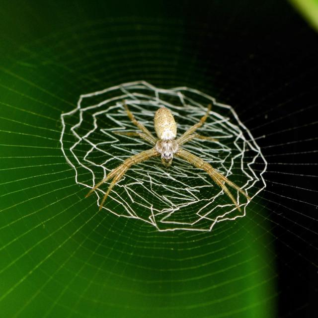 """St Andrew Cross Argiope sp. spider"" stock image"