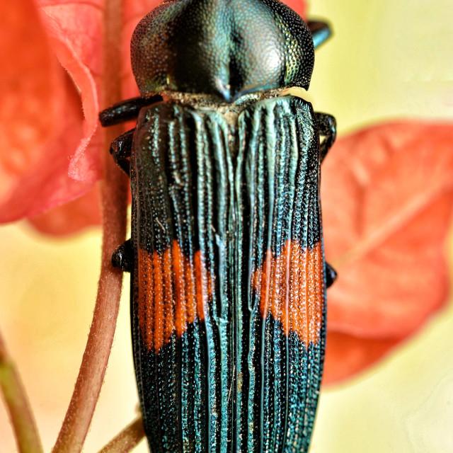 """""""Jewel beetle"""" stock image"""