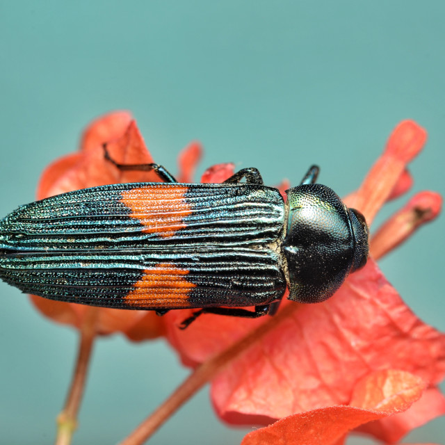 """Jewel beetle"" stock image"