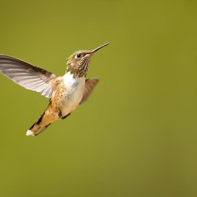 """Scintillant Hummingbird"" stock image"