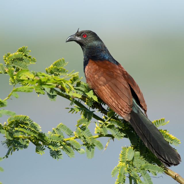 """Greater Coucal"" stock image"