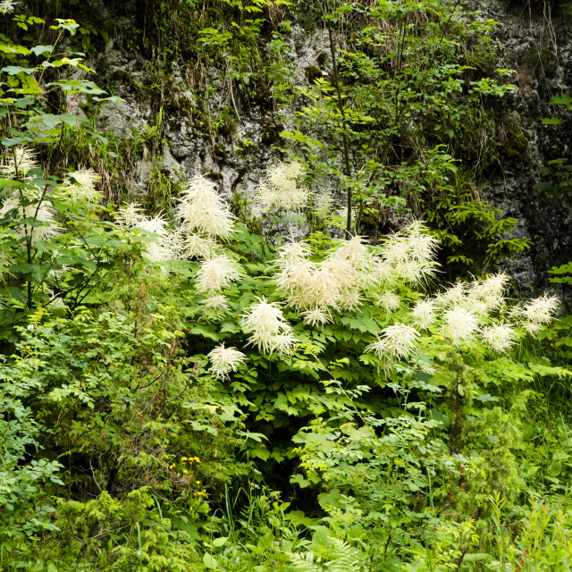 """""""Blooming wood-worm (Aruncus dioicus) in the mountains"""" stock image"""