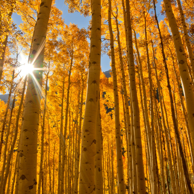 """Sun bursting through a grove of Aspen Trees in the Fall Season"" stock image"