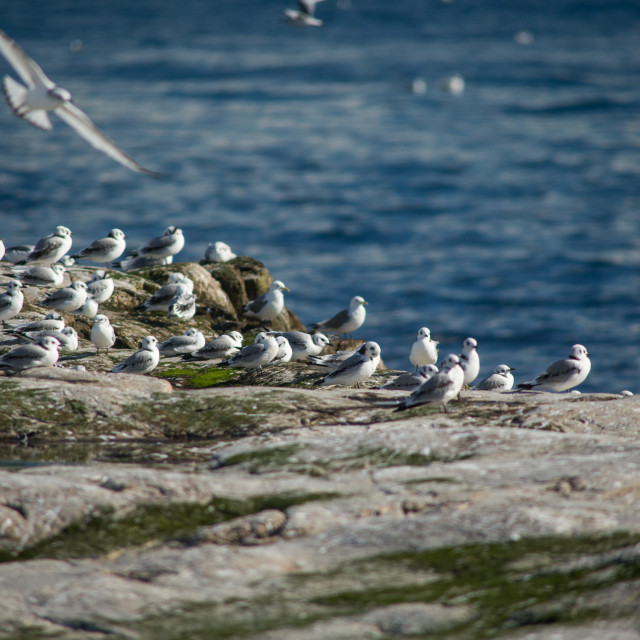 """Kittiwakes in Ekkerøy, Arctic Norway"" stock image"