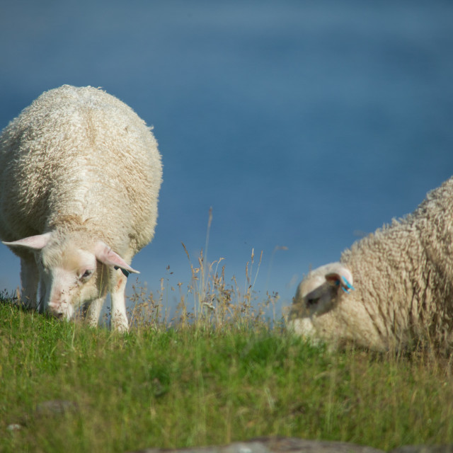 """Sheep in Ekkerøy, Arctic Norway"" stock image"