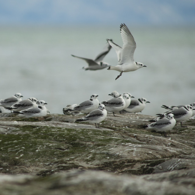 """Kittiwake fly by"" stock image"