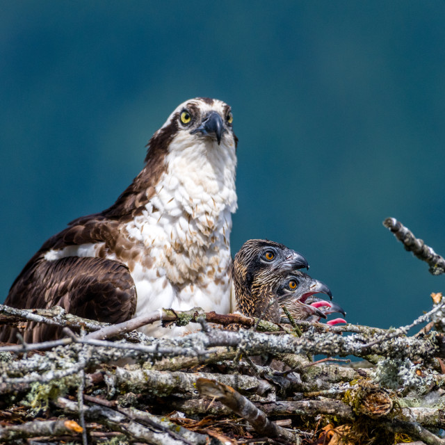 """Osprey and three chicks"" stock image"