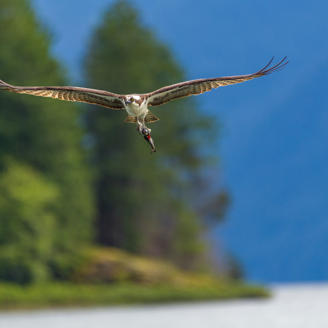 """Incoming osprey loaded with fish"" stock image"