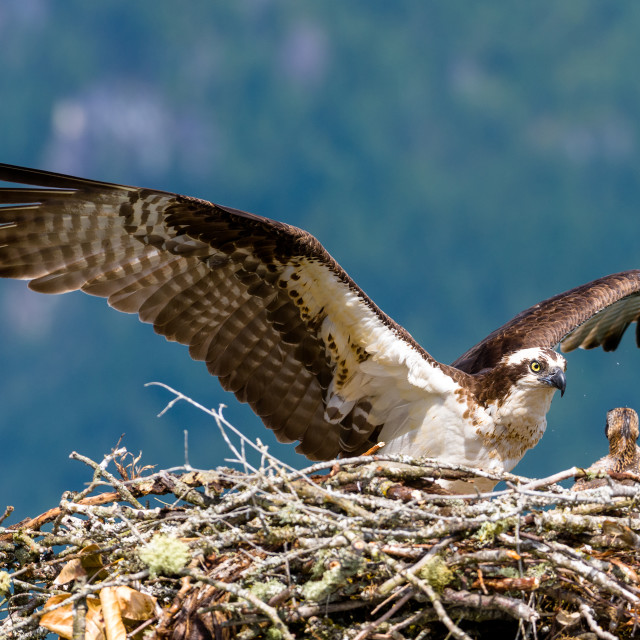 """Ospery and chick at nest"" stock image"