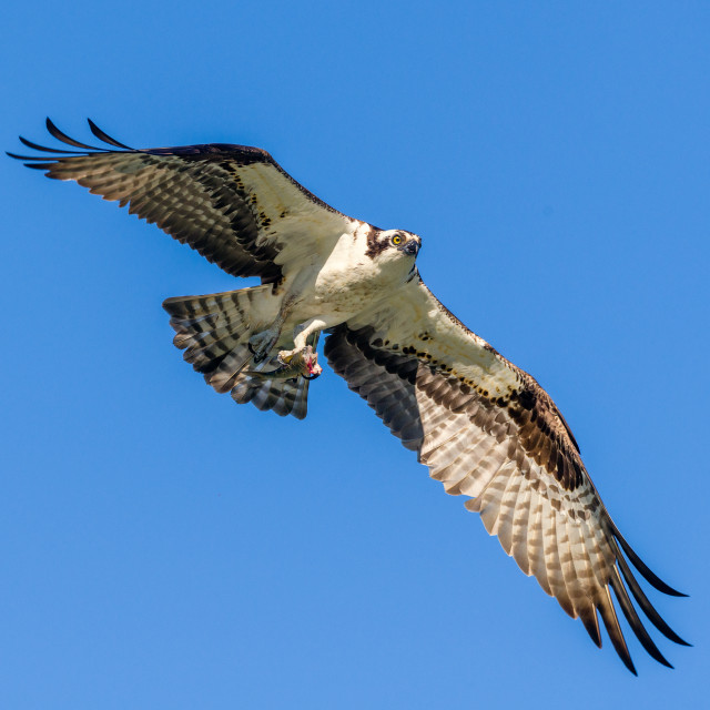 """in flight: Osprey flies by with fish"" stock image"