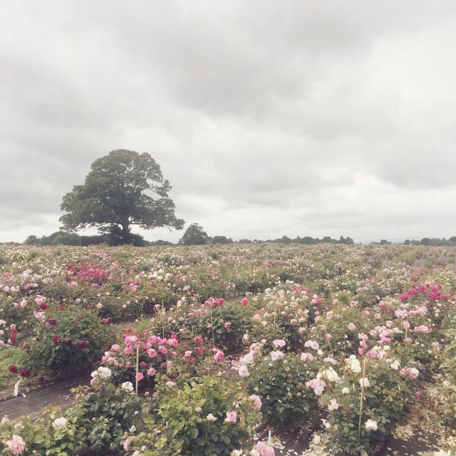 """Rose field"" stock image"