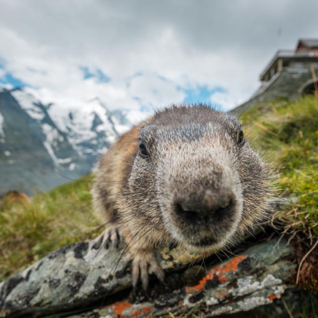 """""""Curious marmot"""" stock image"""