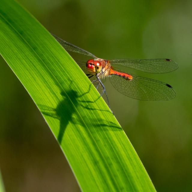"""Shadow of the dragonfly"" stock image"