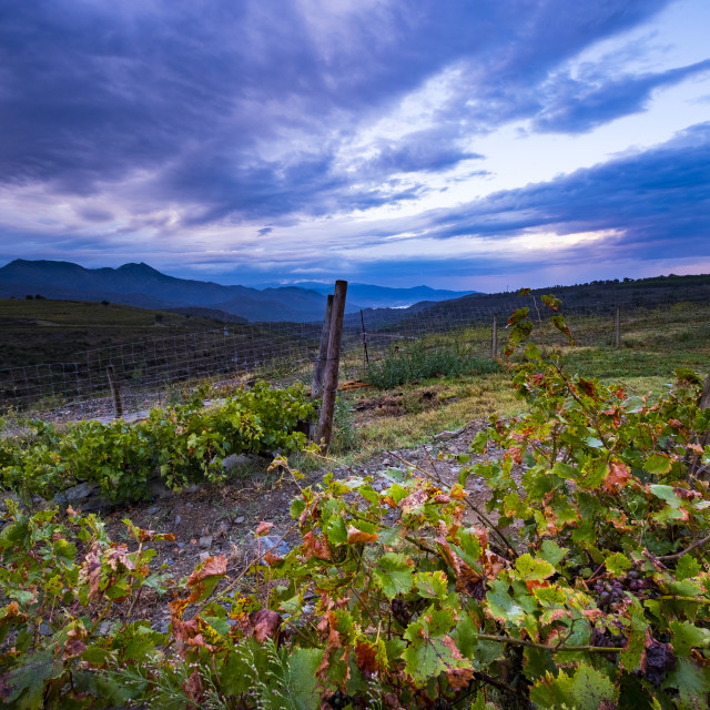 """""""Vineyards for the production of organic wines around the town of Colera north of the Costa Brava in the province of Gerona in Catalonia Spain"""" stock image"""