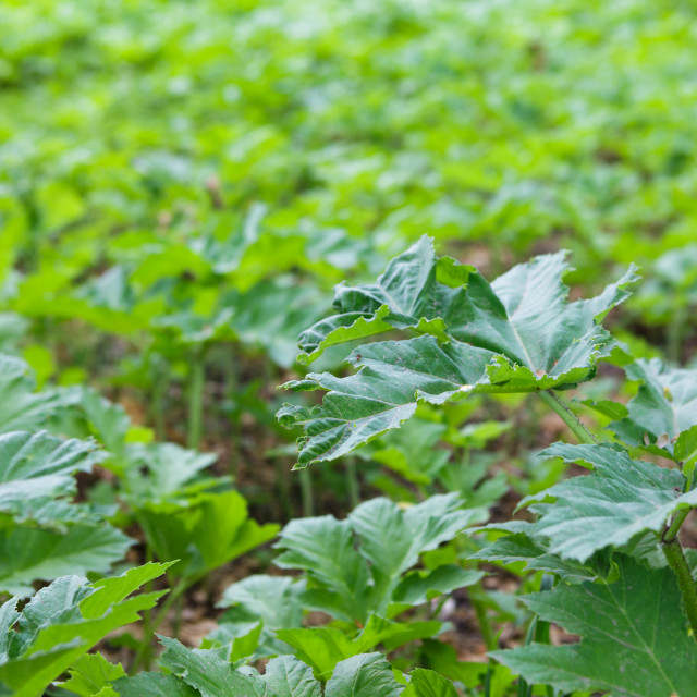 """""""Field of young green giant hoghweed"""" stock image"""