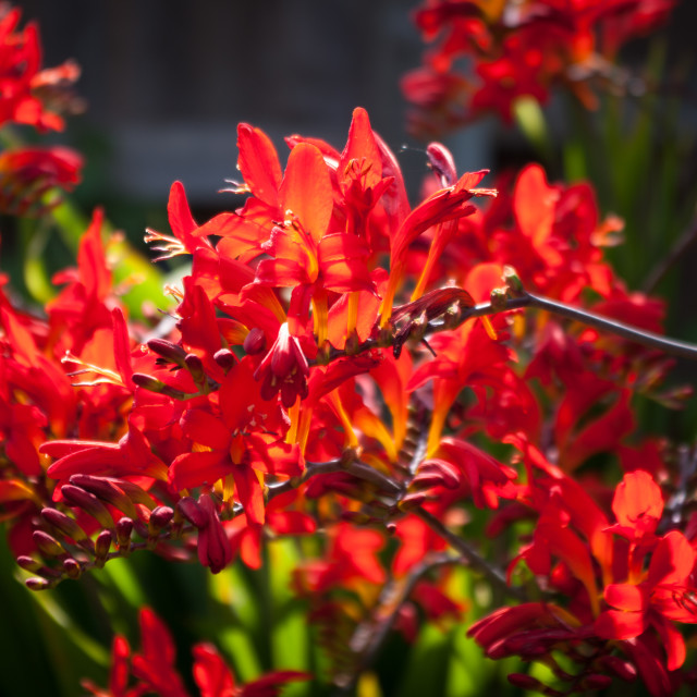 """Crocosmia Lucifer"" stock image"