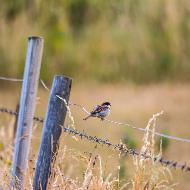 """Sparrow on a fence"" stock image"