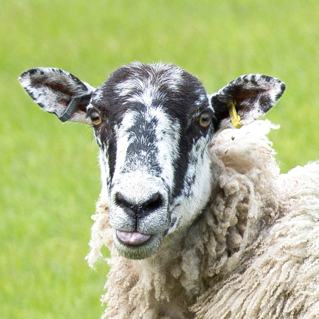 """Sheep - Swaledale"" stock image"