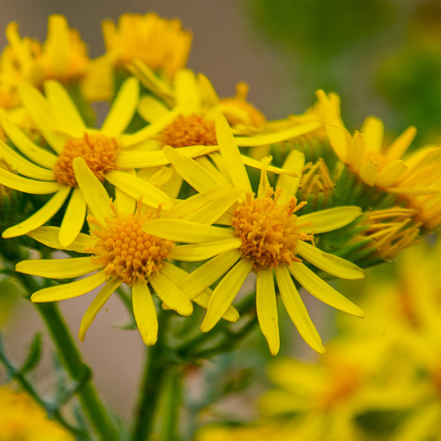 """Golden ragwort flowers"" stock image"