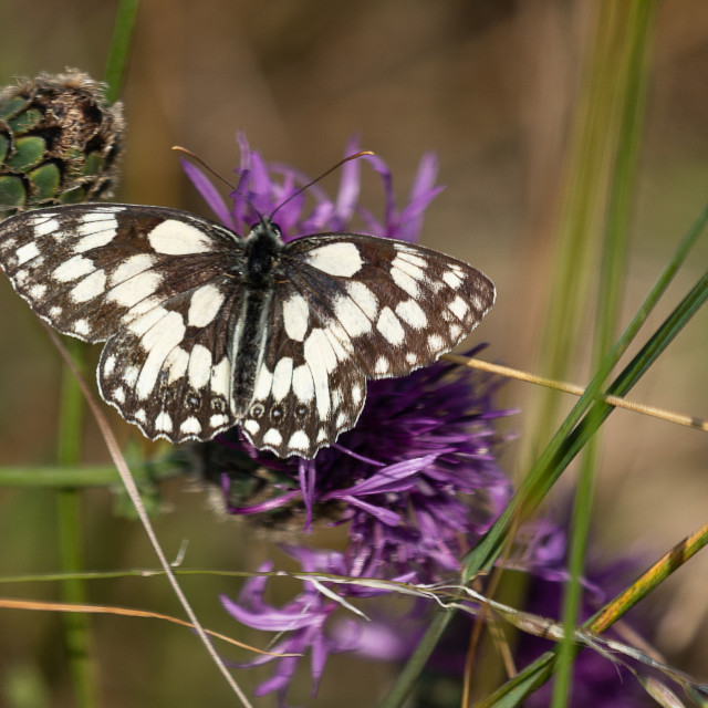 """Marbled white butterfly"" stock image"
