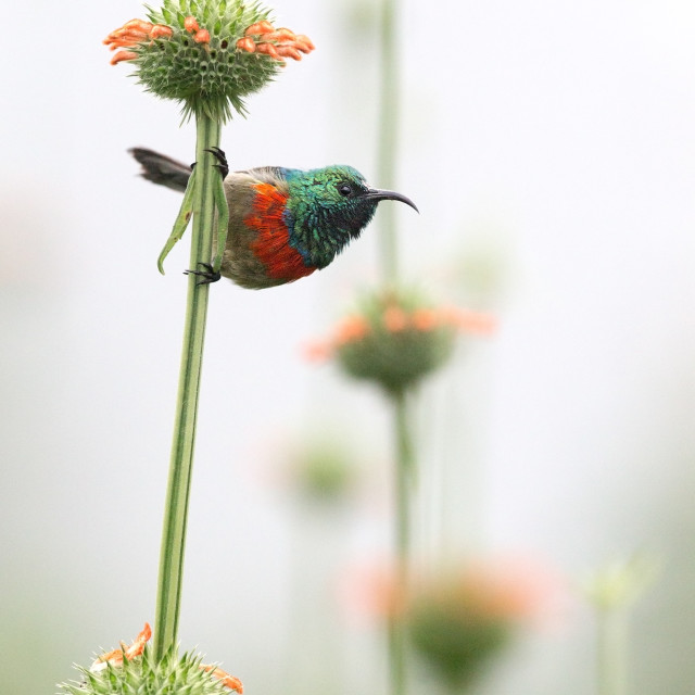 """Eastern Double-collared Sunbird perched on a stem"" stock image"