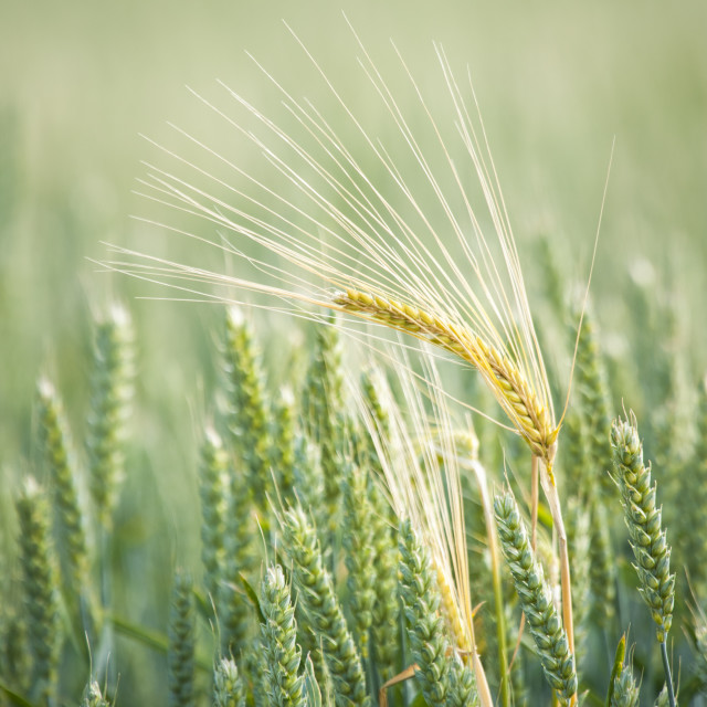 """Ear of barley in a sea of corn"" stock image"