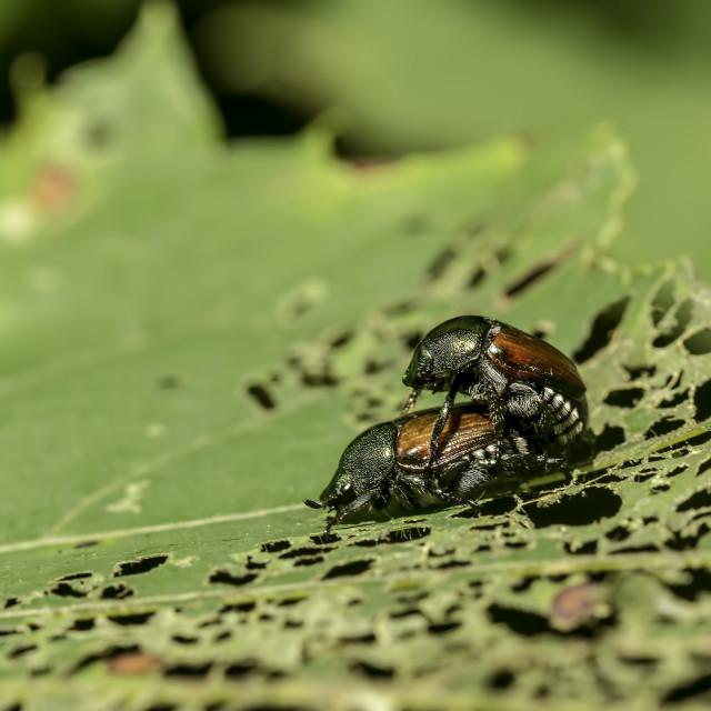 """Japanese Beetle"" stock image"