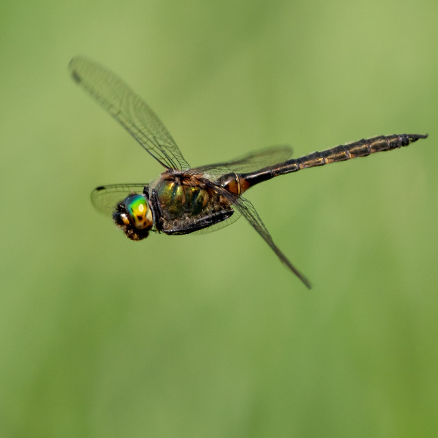"""Dragonfly in flight"" stock image"