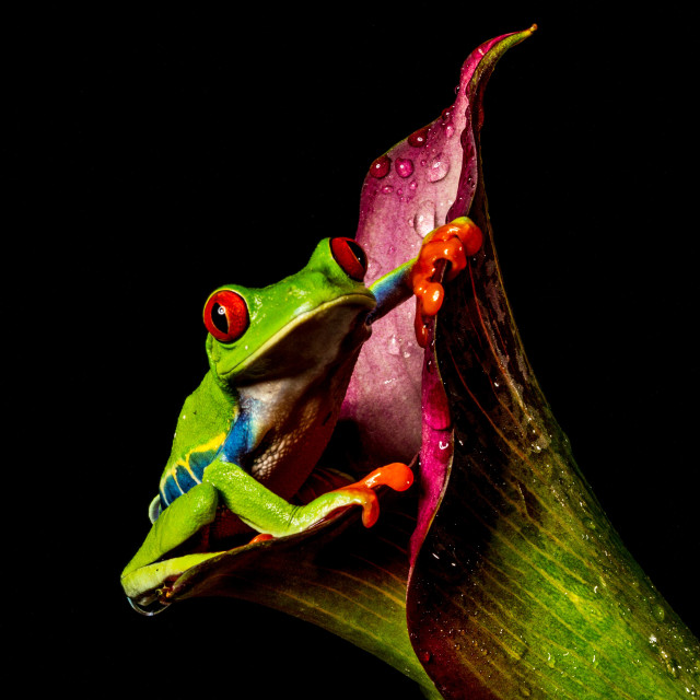 """Amazing Tree Frog"" stock image"