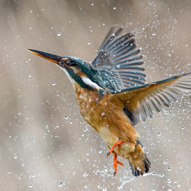 """""""Kingfisher taking off after a dive"""" stock image"""