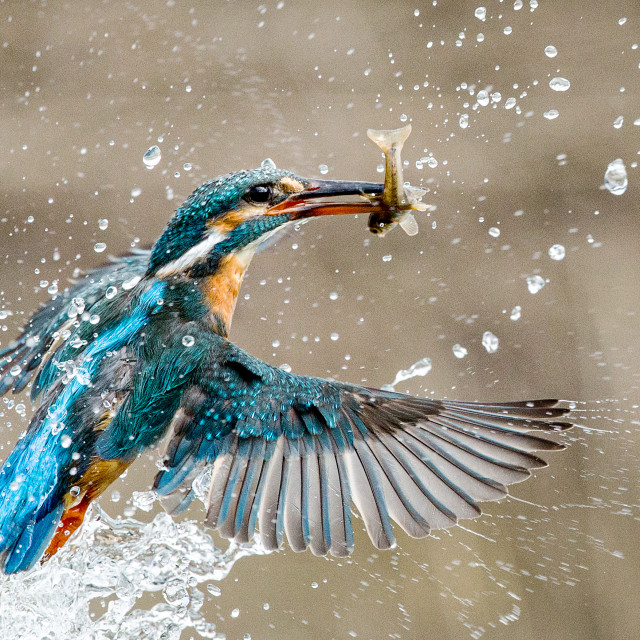 """Kingfisher with catch"" stock image"