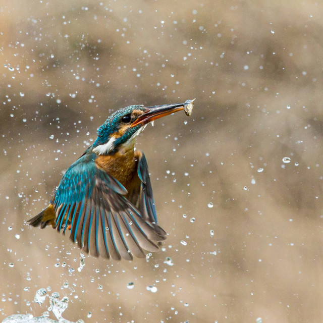 """""""Kingfisher with minnow"""" stock image"""