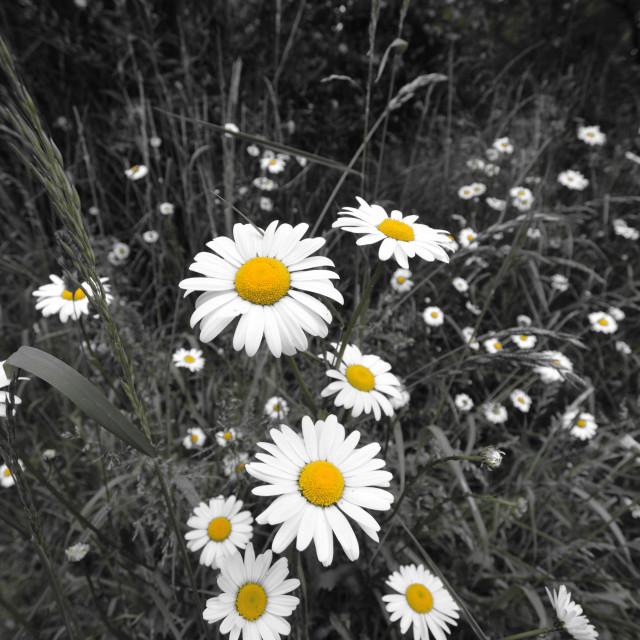 """""""Daisy Daisy"""" stock image"""