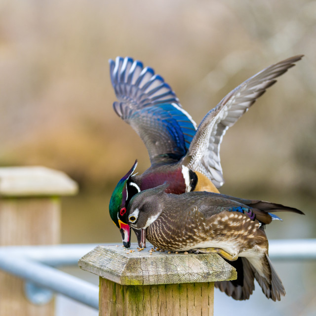 """Wood ducks having lunch"" stock image"