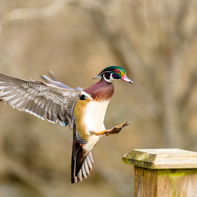 """Male wood duck touching down"" stock image"