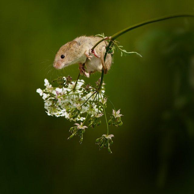 """Harvest Mouse balancing on Cow Parsley"" stock image"