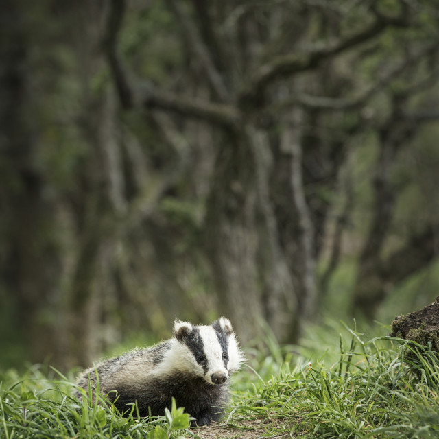 """Badger emerging from the edge of woodland."" stock image"