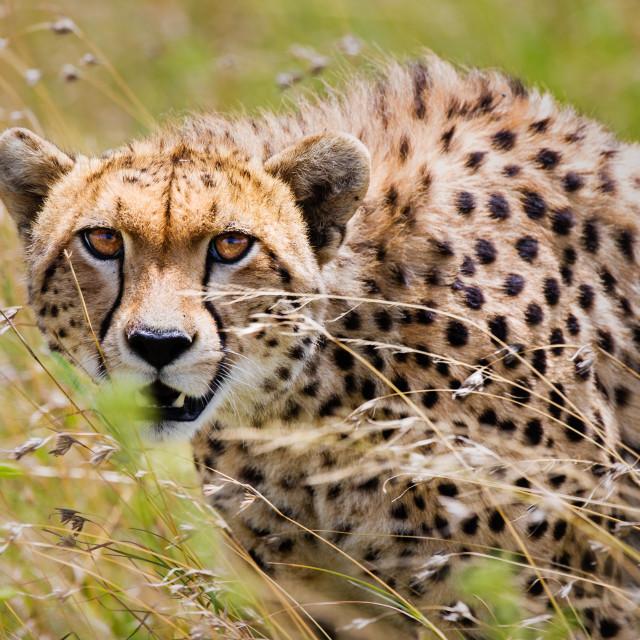 """Cheetah prowling"" stock image"