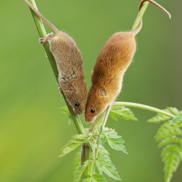 """""""Harvest Mouse Meeting"""" stock image"""