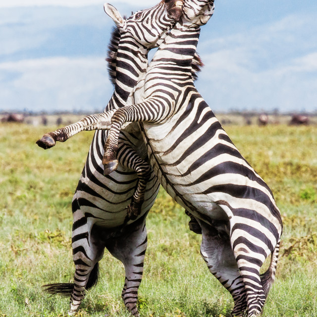 """Zebra fighting"" stock image"